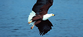 The Fish Eagle - Voice of Africa
